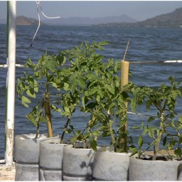 Aquatic Agriculture – Growing Food on Water?!