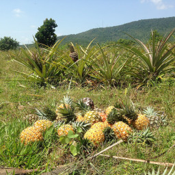 A Pineapple, A Cow and Thousands of Flies Meet in Costa Rica…